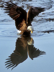 eagle_reflection250