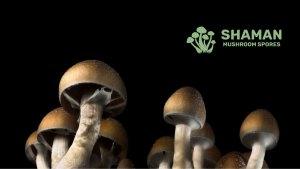 psilocybin spores for sale