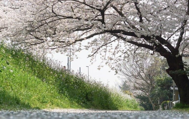 С тропы можно спуститься вниз и оттуда невозбранно шпионить за людьми по сенью сакур. Что я и сделала.