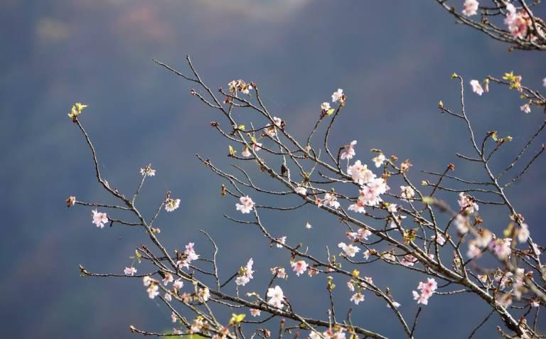 Несмотря на то, что сакура прочно ассоциируется с апрелем и началом года, на самом деле существует немало сортов, цветущих зимой или даже дважды в году: в апреле и октябре-ноябре.