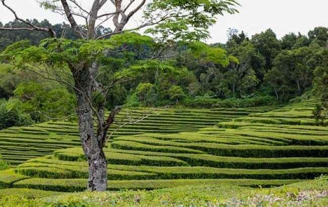 Террасные  горные чайные плантации