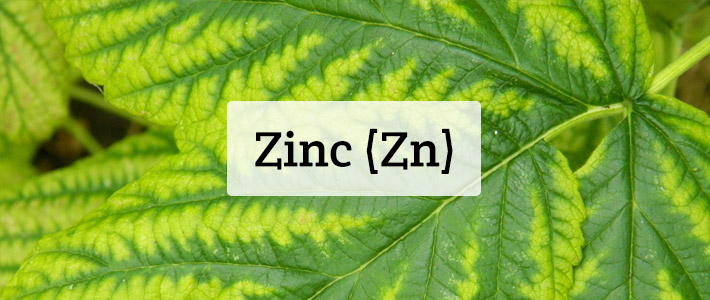 Why is Zinc important for plant growth? – Blog | Shamrock ...