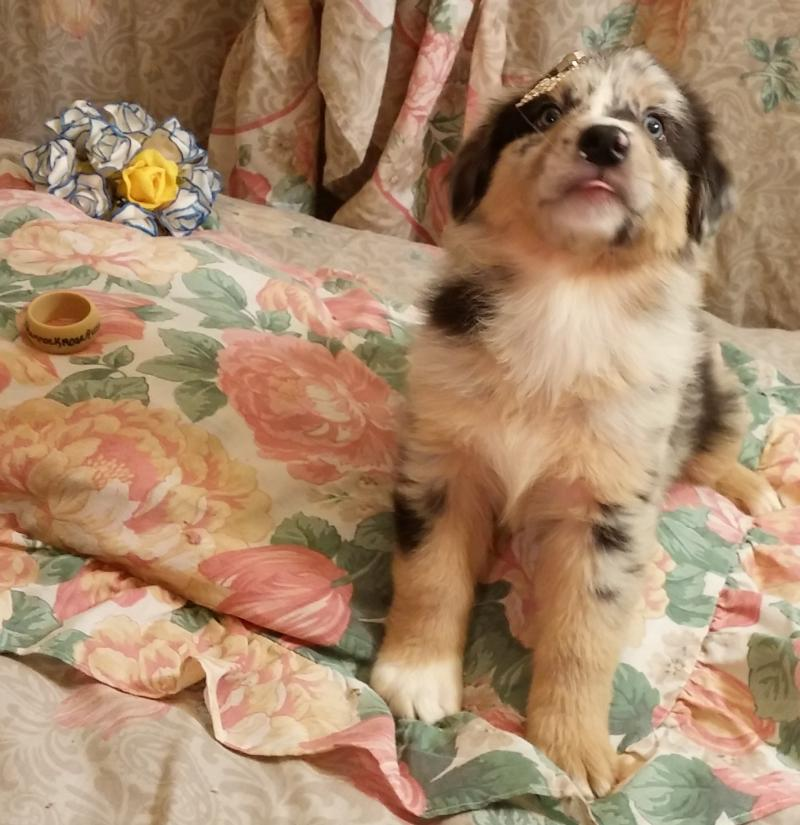 fishing bed chair used transport wheel shamrock rose aussies - update!! we have puppies!!! born 5/3/16 out of & big ed ...