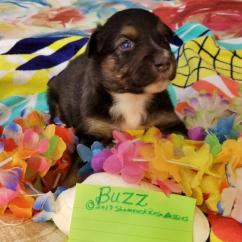 Summer Potty Chair Comfy Kid Chairs Shamrock Rose Aussies - Welcome To Aussies!! :)  Exciting News!!! 2 Litters ...