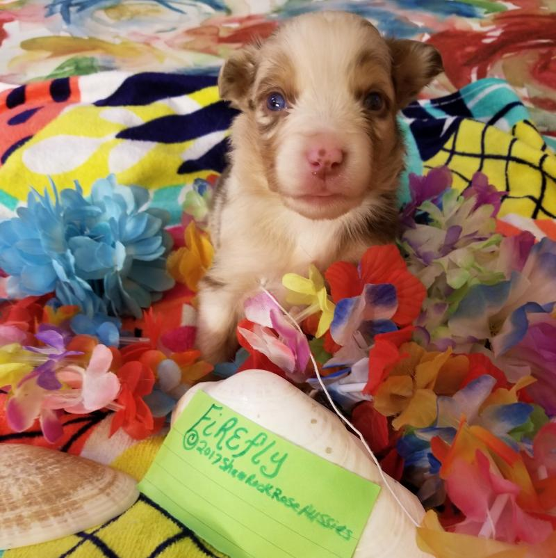 sit me up chair for babies overstuffed desk shamrock rose aussies -  exciting news!!! 2 litters! welcome to aussies! :) all ...