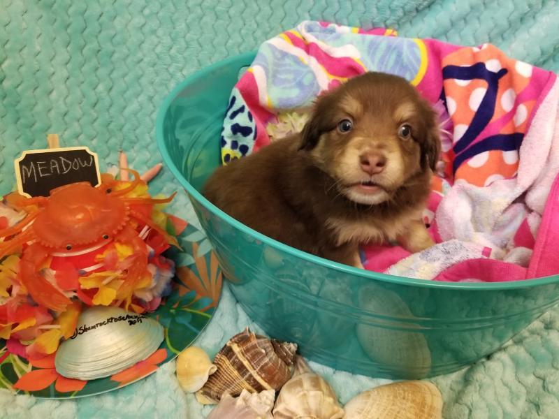 best posture work chair kids with umbrella shamrock rose aussies -  exciting news!!! 2 litters! welcome to aussies! :) all ...