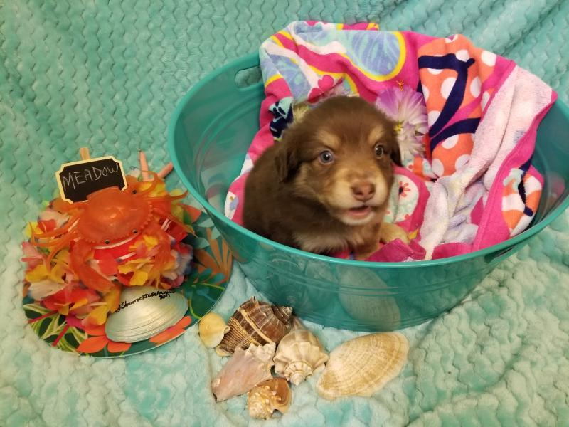 baby chair sit up blue and white shamrock rose aussies -  exciting news!!! 2 litters! welcome to aussies! :) all ...