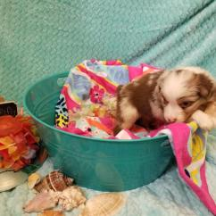 Summer Potty Chair Phil Teds Poppy High Shamrock Rose Aussies -  Exciting News!!! 2 Litters! Welcome To Aussies! :) All ...
