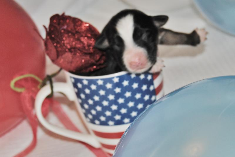 dillon chair 1 2 covers hire bristol shamrock rose aussies - exciting news!!! & big ed's fireworks litter made their ...