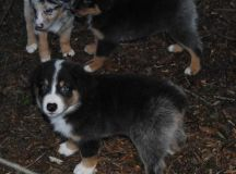 Shamrock Rose Aussies - SCROLL DOWN FOR AVAILABLE PUPPIES ...