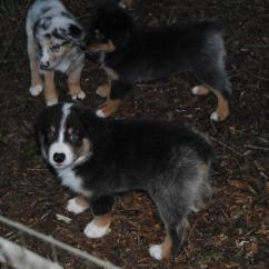 Fishing Bed Chair Used Cover Vendors Shamrock Rose Aussies - Scroll Down For Available Puppies Born 8/10/16