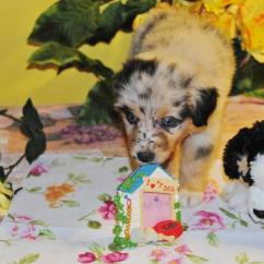 Dillon Chair 1 2 Best The Chairs Shamrock Rose Aussies - Exciting News!!! Summer Litters Coming!! Expected 2nd Week In July Ready ...