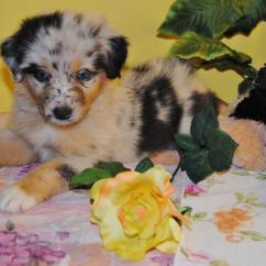 Tall Fishing Chair Metal Arm Shamrock Rose Aussies - Scroll Down For Available Puppies Born 8/10/16