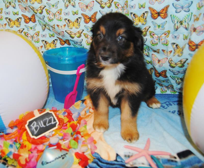 Shamrock Rose Aussies  Welcome to Shamrock Rose Aussies   EXCITING NEWS 2 Litters