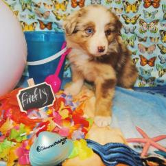 Dillon Chair 1 2 Quest Folding Shamrock Rose Aussies - Welcome To Aussies!! :)  Exciting News!!! Litters ...