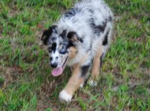 Shamrock Rose Aussies - UPDATE!! NEW PICTURES ADDED OF ...