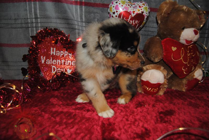 Shamrock Rose Aussies Welcome To Shamrock Rose Aussies Exciting News Princess Of The