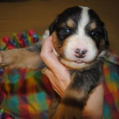 How To Build A Lifeguard Chair Eames Molded Wood Side Shamrock Rose Aussies - Scroll Down For Available Puppies Born 8/10/16
