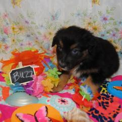 Baby Boy Doll High Chair Hay About A Shamrock Rose Aussies - Welcome To Aussies!! :)  Exciting News!!! 2 Litters ...