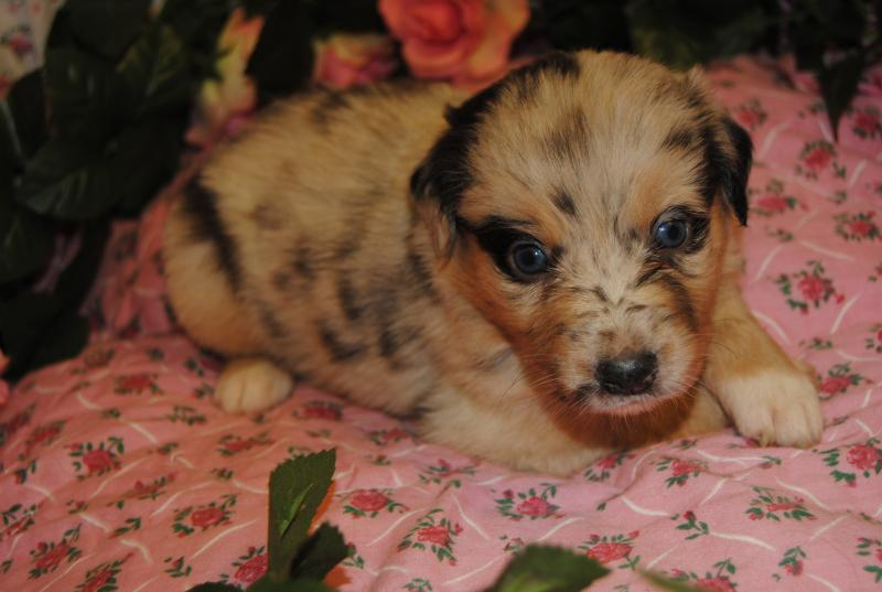 tall fishing chair plastic adirondack chairs uk shamrock rose aussies - scroll down for available puppies born 8/10/16