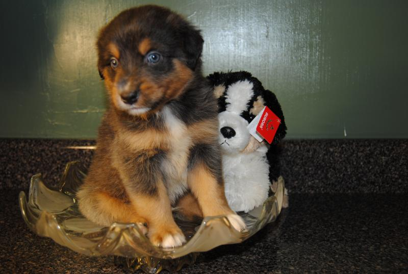 sit me up chair for babies power with tracks shamrock rose aussies - scroll down available puppies born 8/10/16