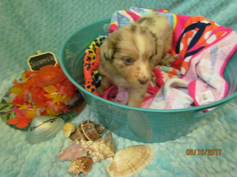 summer potty chair high toy shamrock rose aussies - welcome to aussies!! :)  exciting news!!! 2 litters ...