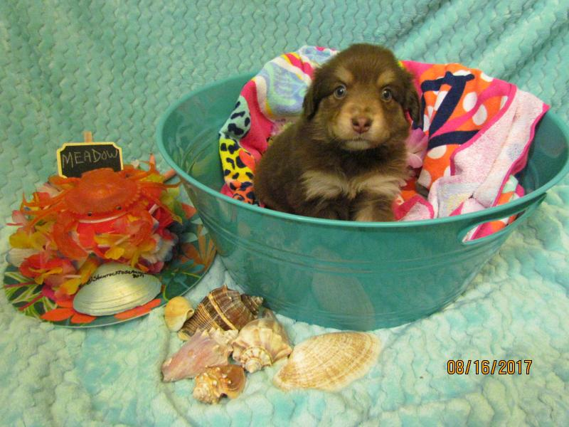 summer potty chair theater covers shamrock rose aussies -  exciting news!!! 2 litters! welcome to aussies! :) all ...