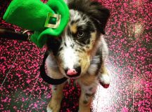 Shamrock Rose Aussies - EXCITING NEWS!!! Summer litters ...