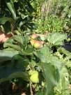 home grown gala apples
