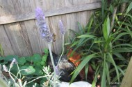 bee on lavender chickens