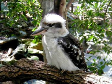 The Kookaburra, New South Wales, Australia One of the most recignisable of all Australian Birds, with their ususual call. The kookaburra sing out loudest at dusk and dawn, which gives them the nickname of the Bushmans Alarmclock.