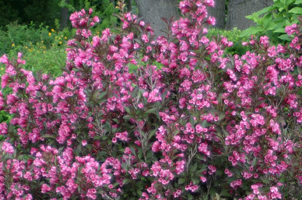 Flowering Shrubs Header Shaner Avenue Nursery