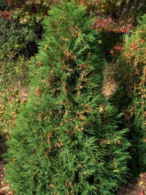 Arborvitae-Upright-Dark-Green-Shaner-Avenue-Nursery