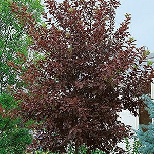 Chokecherry-Canada-Red-Shaner-Avenue-Nursery