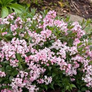 Deutzia-Yuki-Cherry-Blossom-Shaner-Avenue-Nursery