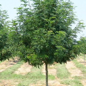 Honeylocust-Tree-Shaner-Avenue-Nursery