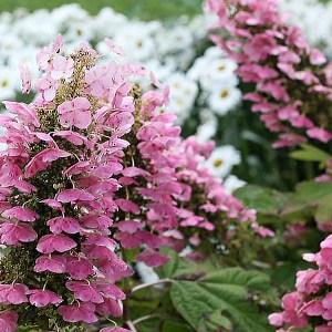 Hydrangea-Gatsby-Pink-Shaner-Avenue-Nursery