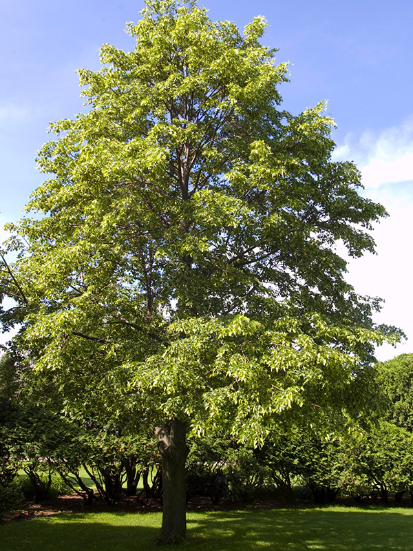 Linden-Tree-Shaner-Avenue-Nursery