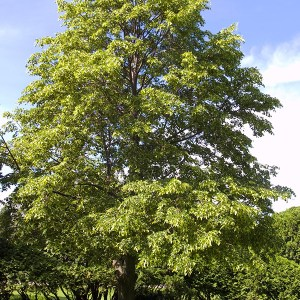 Linden-Tree-Shaner-Avenue-Nursery
