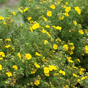 Potentilla-Happy-Face-Shaner-Avenue-Nursery