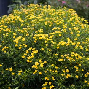 St-Johns-Wort-Shaner-Avenue-Nursery