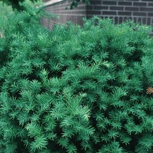 Yew-Densiformis-Shaner-Avenue-Nursery
