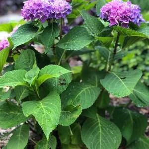 Hydrangea-Big-Leaf-Shaner-Avenue-Nursery