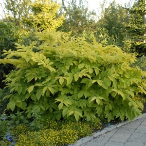 Aralia Sun King Shaner Avenue Nursery
