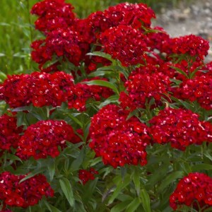 Sweet William Scarlet Fever Shaner Avenue Nursery