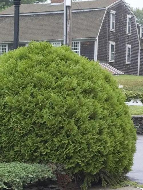 Arborvitae-Globe-Shaner-Avenue-Nursery