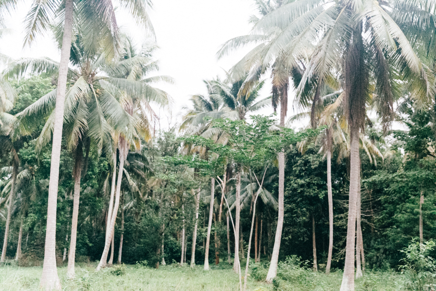Coconut palms in Thailand.