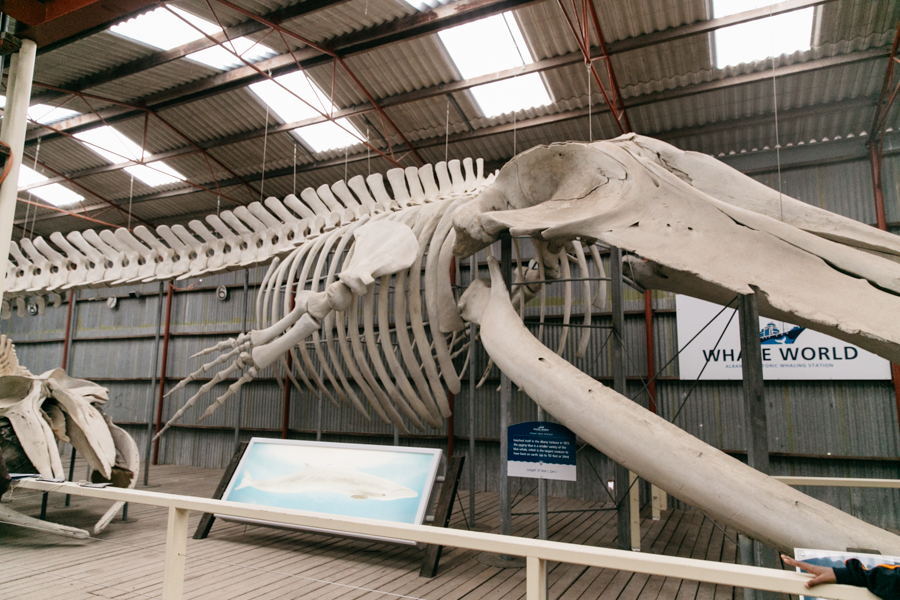 Whale skeleton in Albany.