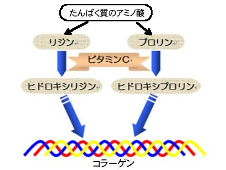コラーゲンの合成