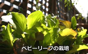 ベビーリーフの栽培方法。室内でも収穫できる?